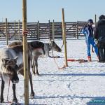 Course de rennes à Hetta, Enontekio