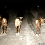 Finlande, rennes sur la route