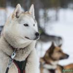 Hetta Huskies, Finlande