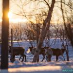 Jeunes rennes en Laponie finlandaise