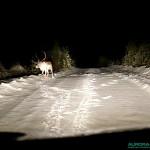 Dans la forêt, rennes sur une piste enneigée