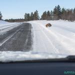 Renard sur la route Finlandaise