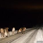 Laponie, rennes sur la routes