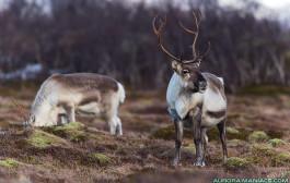 Pourquoi les yeux marron des rennes deviennent bleus en hiver