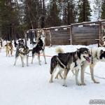 Chiens de traineau à Hetta, Finlande (via Hetta Huskies)