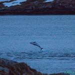 Dauphins en Norvege