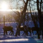 Jeunes rennes en Finlande
